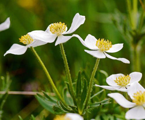 alpine plant inflorescence petals
