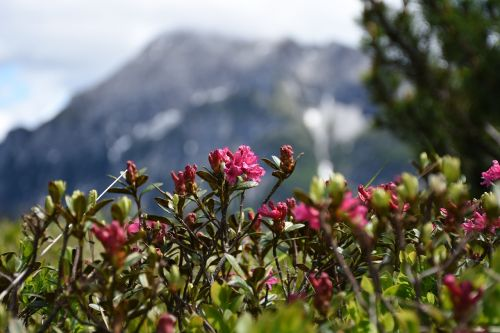 alpine rose snow fields mountain pine