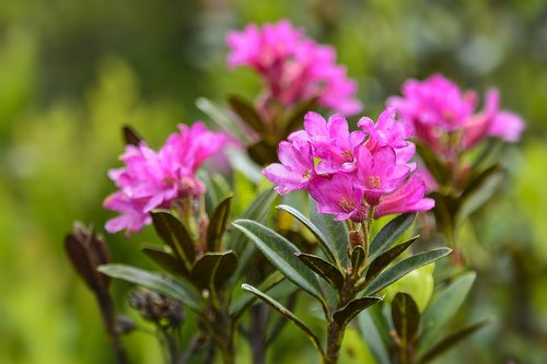 alpine rose  rhododendron  blossom