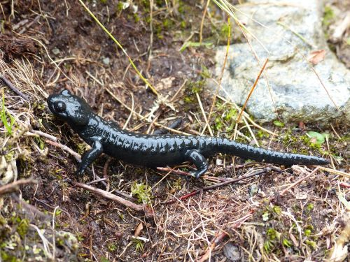 alpine salamander amphibian salamander