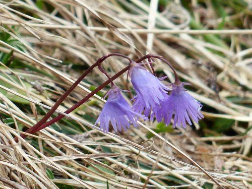 alpine soldanella blossom bloom