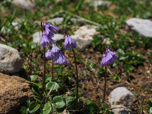 alpine soldanella flower purple