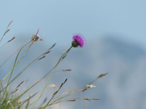 alpine thistle thistle blossom