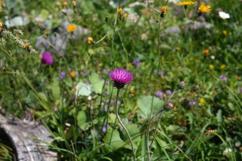 alpine thistle thistle purple
