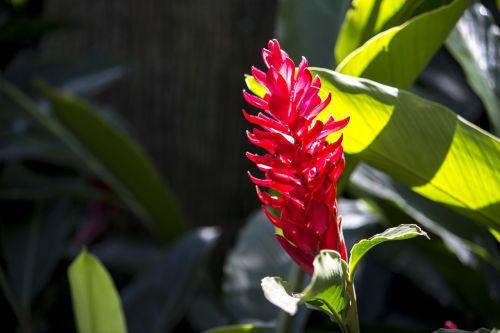 alpínia purpurata exotic flower nature