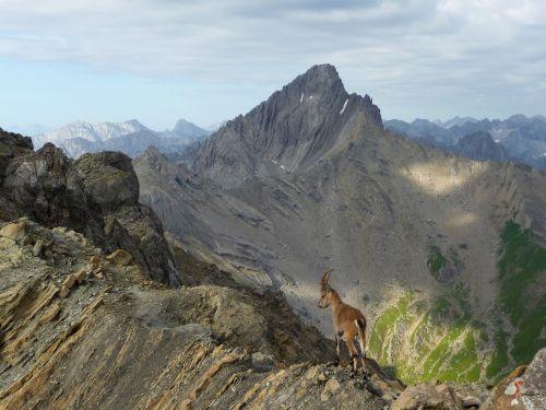 alps chamois mountains