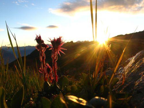 Alpės,gėlė,kalnas,violetinė,šviesa,gamta,kraštovaizdis,vasara,žalias,Alpių,Europa,kelionė,žolė,žiedas,Šveicarija,lauke,žydėti,atostogos,žygiai,vakaras,saulėlydis