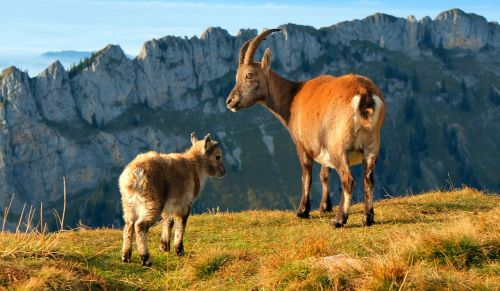 alps stone geiss mountain goat goat