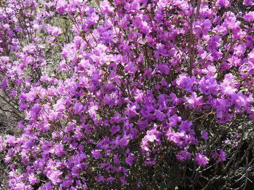 altas,pavasaris,Labradoro arbata