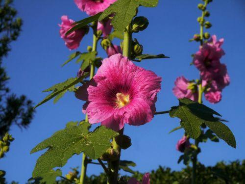 althaea rosea hana aoi pink