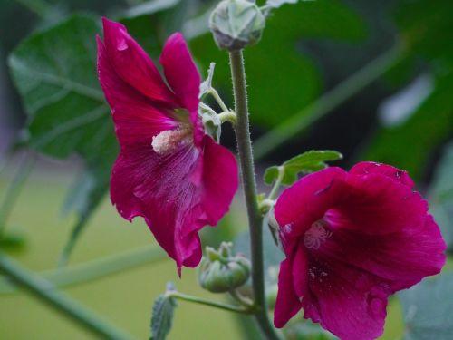 althaea rosea hana aoi red purple