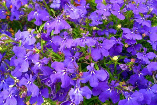 although praise lien blue