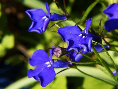 although blue lobelia plant