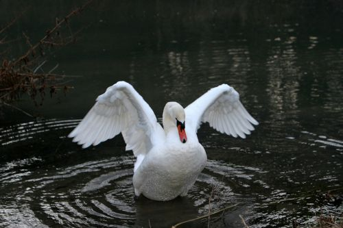 altmühl swan plumage