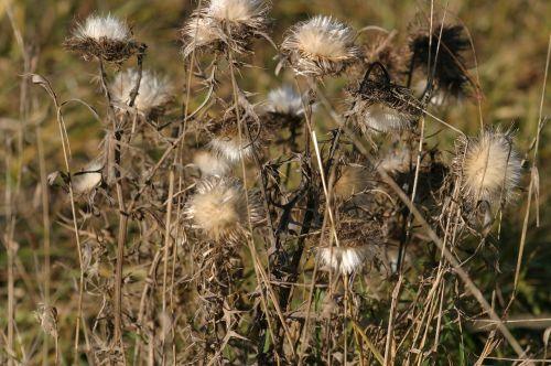 altmühl slėnis,gėlės,drebulės,silberdisteln,gamtos apsauga,augalas,schambach slėnis,altmühltal gamtos parkas