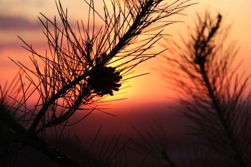 alxa sunset echinacea