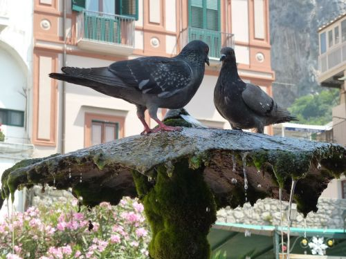 amalfi thirsty register your pigeons