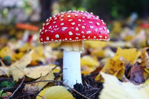 amanita mushroom forest
