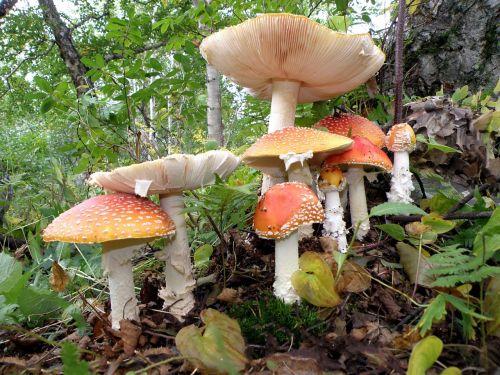 amanita mushrooms family
