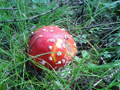 amanita fungus poison