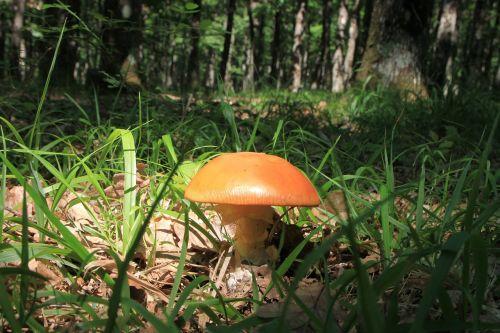 amanita orange mushrooms