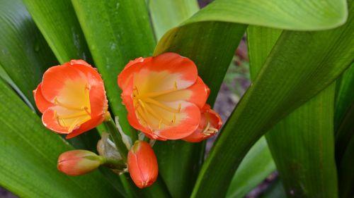 amarillidaceae belt sheet blossom