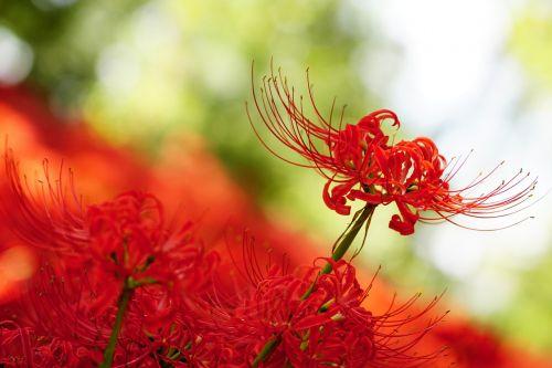 amaryllis amaryllidaceae spider lily