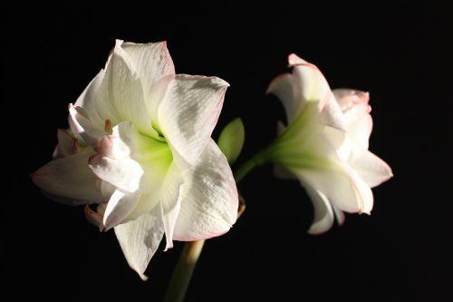 amaryllis flower flowers