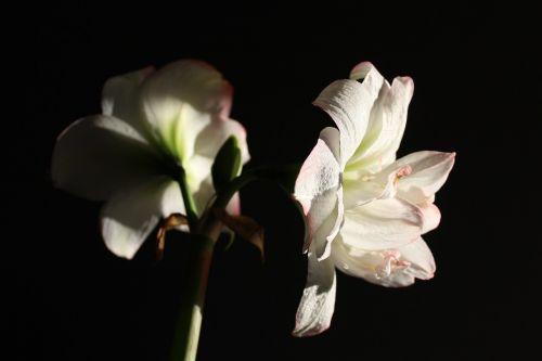 amaryllis flower blossom