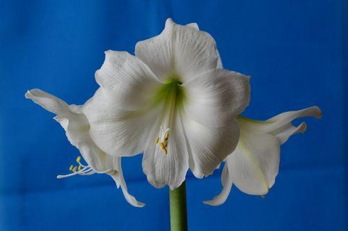amaryllis hippeastrum amaryllidaceae