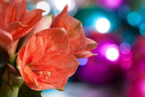 amaryllis salmon pink blossom