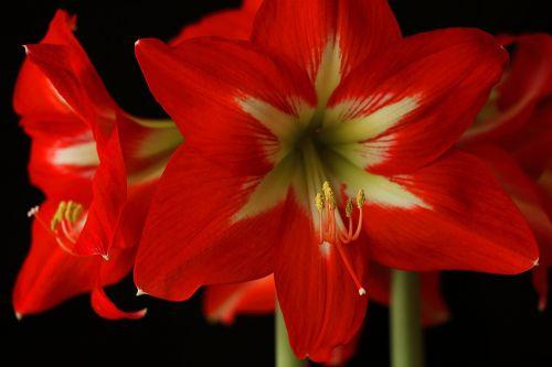 amaryllis,gėlė,žiedas,žydėti,raudona,amarilio augalas,Uždaryti,augalas,žiedadulkės,gamta,anksti,žiedynas,spalvingas