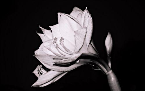 amaryllis flower amaryllis plant