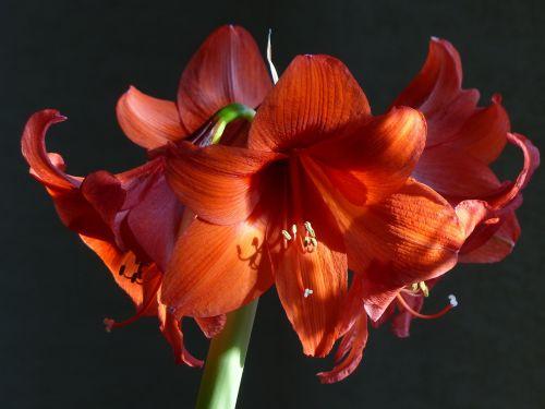 amaryllis houseplant amaryllis plant