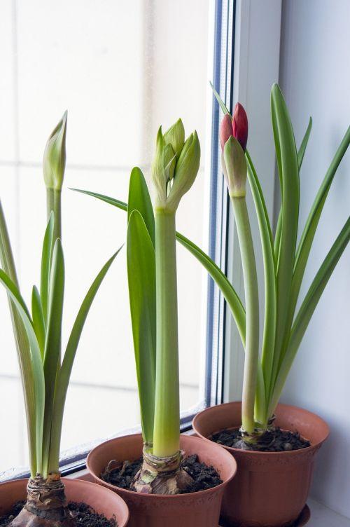amaryllis hippeastrum flowers on window