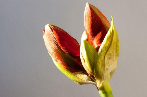 amaryllis red bud