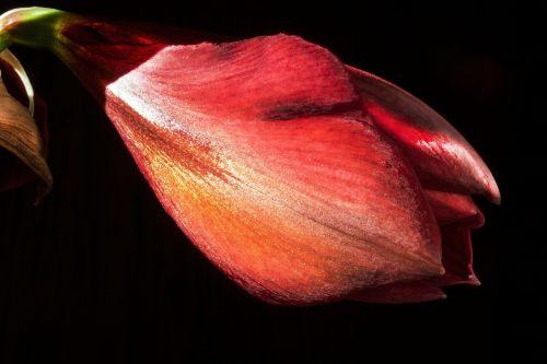 amaryllis red flowers
