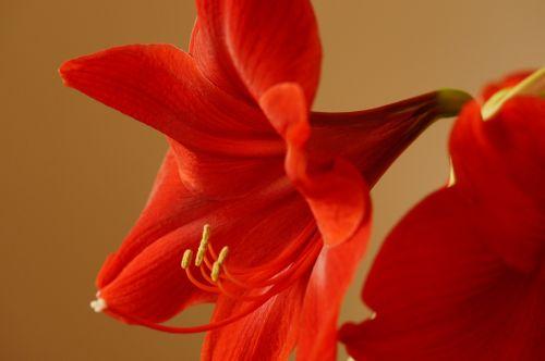 amaryllis amaryllis plant flower