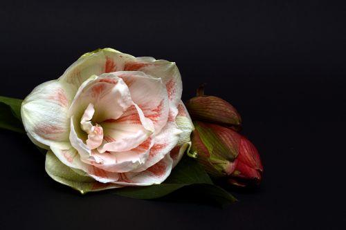 amaryllis blossom bloom