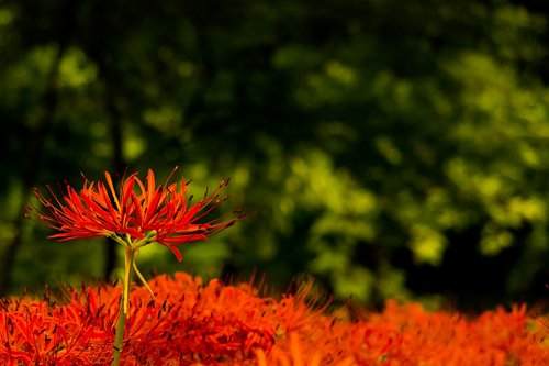 amaryllis  flowers  autumn flowers