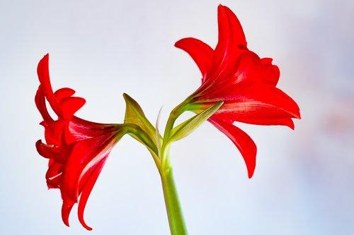 amaryllis  nature  plant