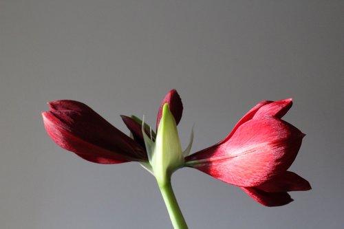 amaryllis  plant  blossom
