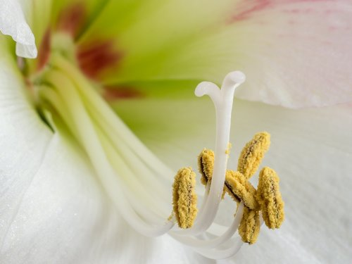 amaryllis  early  stamens