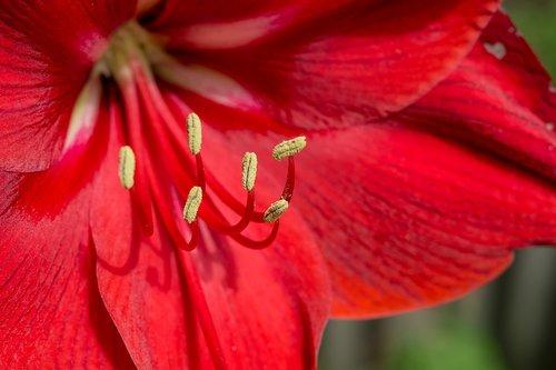 amaryllis  red  close up