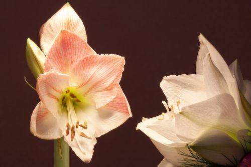 amaryllis white pink