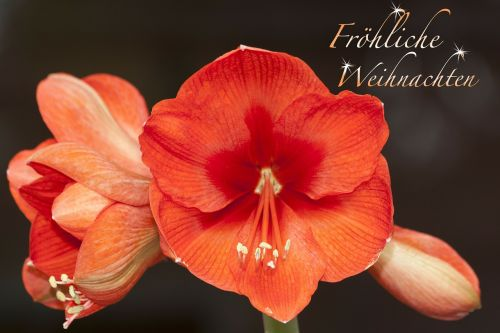 amaryllis flower plant