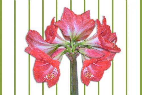 amaryllis flowers amaryllis plant