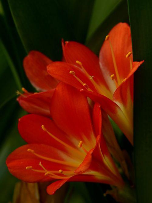 amaryllis poisonous plant ornamental plant