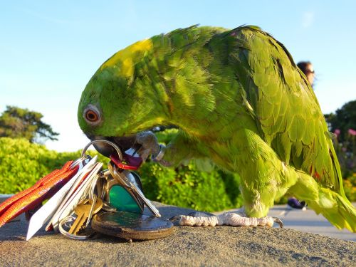 amazon parrot playing