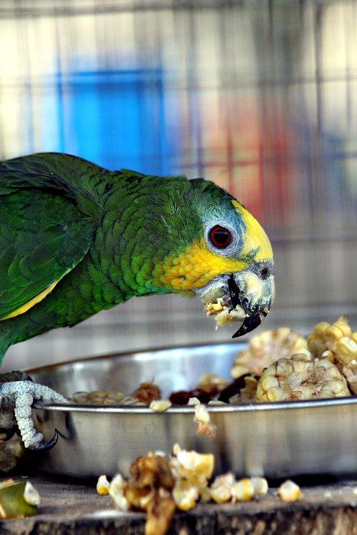 amazon  parrot  amazona amazonica